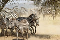 Herd of restless common zebras a group equus quagga with fighting males in the shade a tree in serengeti national park tanzania Royalty Free Stock Photo