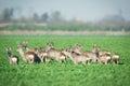 Herd of roe deers on meadow