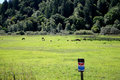 Herd of roosevelt elk cows with no trespass sign in a meadow feeding a Royalty Free Stock Photography