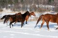 Herd of running horses Royalty Free Stock Photos