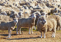 Herd of sheep Stock Photos
