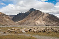 Herd of sheep against the background of zanskar mountain range rangdum village valley jammu and kashmir india Stock Images