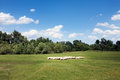 Herd of sheep on beautiful meadow sunny day green pasture Royalty Free Stock Photography