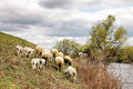 Herd of sheep eating grass by the river ivanovo serbia Royalty Free Stock Photo