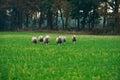 Herd of sheep in field running towards camera. Royalty Free Stock Photo