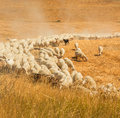 Herd of sheep in a field of Tuscany Royalty Free Stock Images