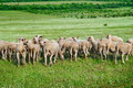 Herd of sheep on the green field Royalty Free Stock Photography