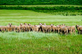 Herd of sheep on the green field Stock Photos