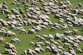 Herd of sheep on green meadow 5 Stock Photos