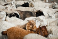 Herd of sheep and kashmir goats Royalty Free Stock Photography