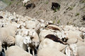 Herd of sheep and kashmir goats from indian farm pashmina highland in ladakh Royalty Free Stock Images