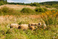 Herd of sheep on the meadow Royalty Free Stock Image
