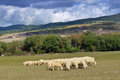 Herd of sheep on the meadow tuscan italy Royalty Free Stock Image