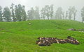 Herd of sheep in a meadow wide shot alpine with Stock Photo