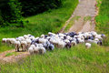 Herd of sheep running Royalty Free Stock Photo