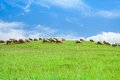 Herd of sheep in sheep over blue sky eating grass the green field clean summer Royalty Free Stock Photography