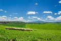 Herd of sheep on tuscany field italy Stock Photos