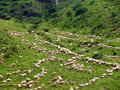 Herd of sheeps climbing mountain italian alps a many grazing and a green slope photo taken in a summer day Royalty Free Stock Photo