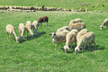 Herd of sheeps in the greek countryside Royalty Free Stock Photos