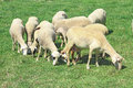 Herd of sheeps in the greek countryside Stock Photos