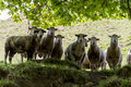 Herd of sheeps looking down group staring closeup Stock Images