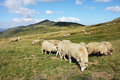 Herd of sheeps sheep in the mountain during the summer Stock Image