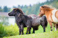 Herd of shetland ponies on the hill in autumn background Stock Photos
