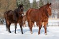 Herd of standing horses in the winter Stock Image