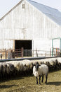 Herd suffolk sheep midwest farm Royalty Free Stock Images