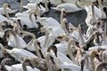 Herd of swans flying in Vistula river in cracow in Stock Images
