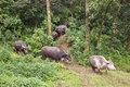 Herd of water buffaloes Royalty Free Stock Photo