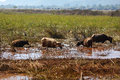 Herd of water buffalos grazing swampland Stock Photography