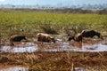 Herd of water buffalos grazing swampland Royalty Free Stock Photo