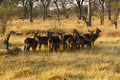 Herd of Waterbuck Royalty Free Stock Photo