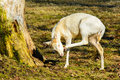 Herd of white fallow deer in nature at sunset Royalty Free Stock Photo