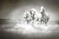 Stádo z bílý koně běh přes voda