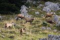 Herd of wild chamois in a field jura france rupicapra rupicapra Royalty Free Stock Images