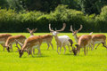 Herd of wild deer English countryside New Forest Hampshire southern uk Royalty Free Stock Photo