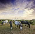 Herd of wild horses and beautiful sunset Stock Images