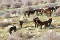 Herd of wild horses on side of road grazing next to a in an american national park Royalty Free Stock Photo