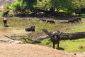 Herd of wild water buffaloes and boars by water hole Royalty Free Stock Photo
