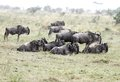A herd of Wildebeest enjoying the rain Royalty Free Stock Photo