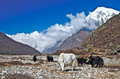 Herd of yaks grazing in the Himalaya Stock Images