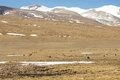 Herd of yaks grazing in the himalaya on friendchip road going to kathmandu tibet china Stock Photography