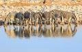 Herd of zebra drinking from a waterhole Royalty Free Stock Photo