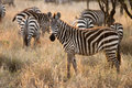 Herd of zebra feeding in the serengeti national park tanzania africa Stock Image