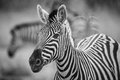 A herd of zebra grazing in the early morning in etosha namibia Stock Photos