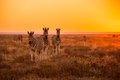A herd of zebra grazing at sunrise in etosha namibia Stock Image