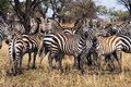 Herd of zebra in the serengeti national park tanzania africa Stock Photography