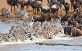 Herd of zebras (African Equids) Royalty Free Stock Photo